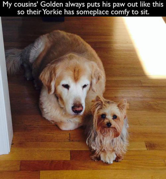 My cousins' Golden always puts his paw out like this so their Yorkie has someplace comfy to sit.