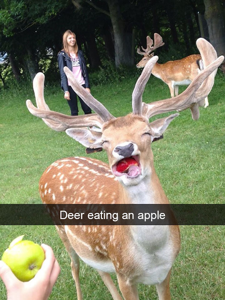 Deer eating an apple