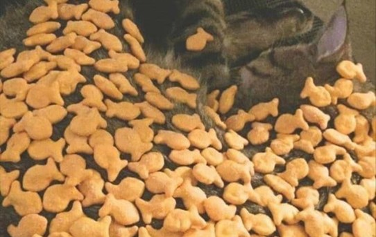 How many Gold Fish can you fit on your cat before it wakes up?