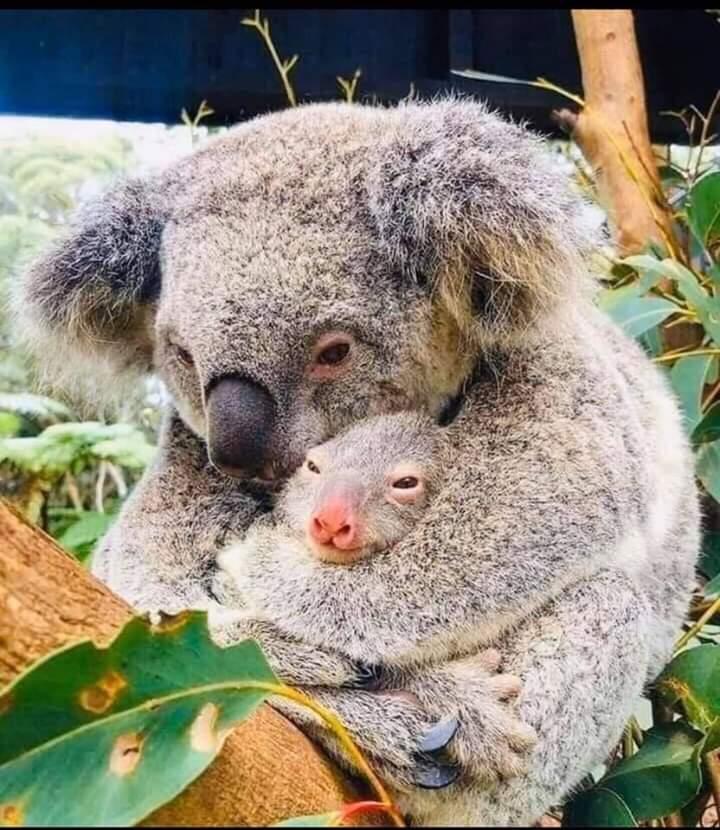 koala population has been devastated