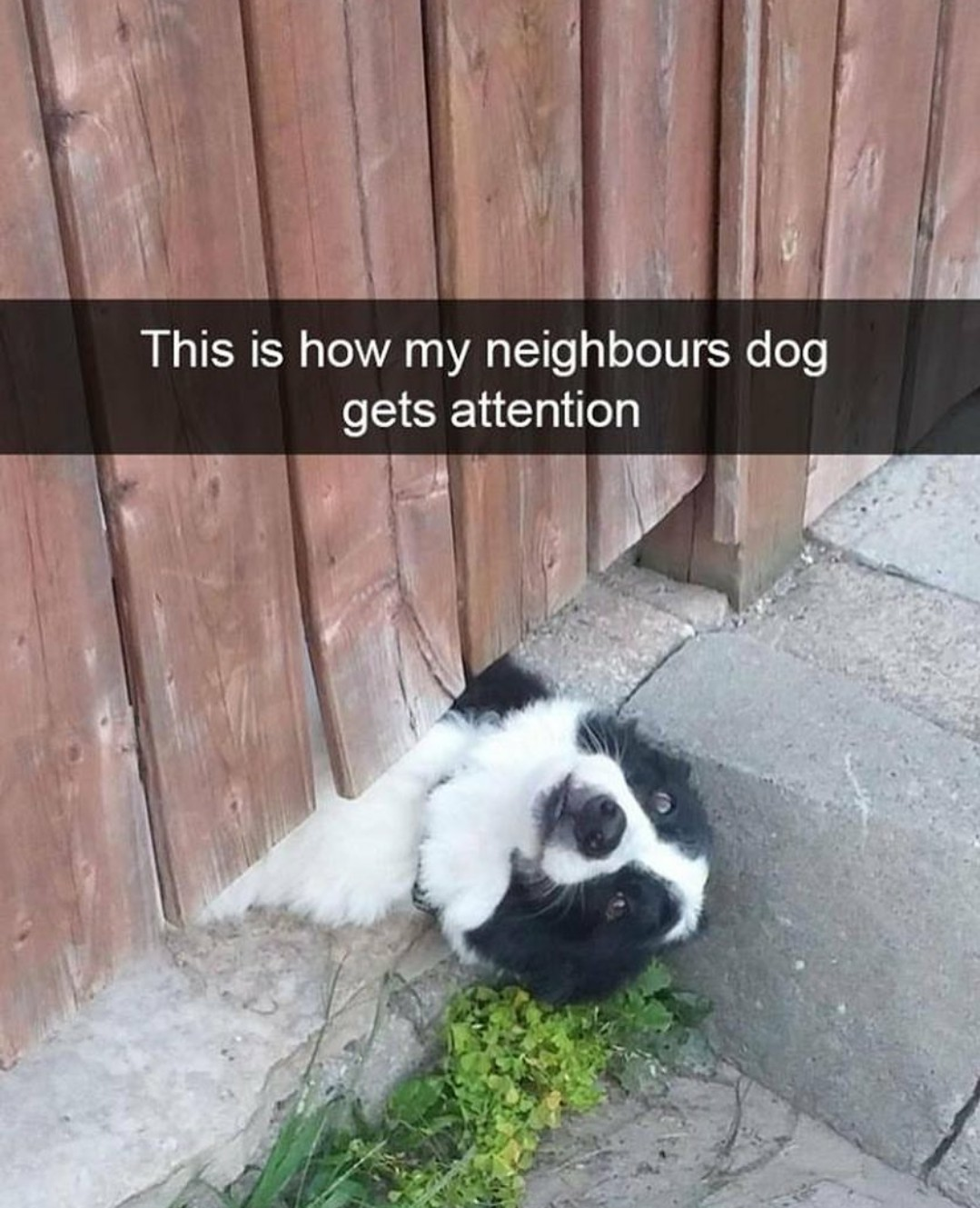 This is how my neighbour's dog gets attention