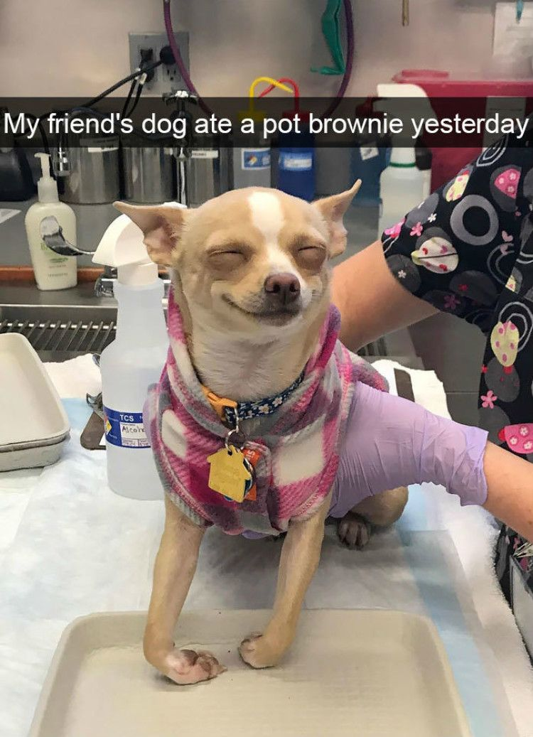 My friend's dog ate a pot brownie yesterday