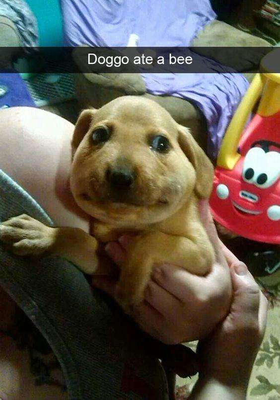 Doggo ate a bee