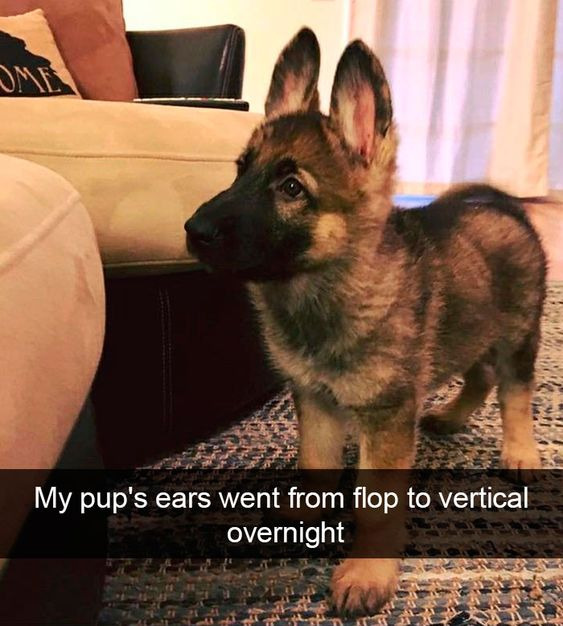 My pup's ears went from flop to vertical overnight