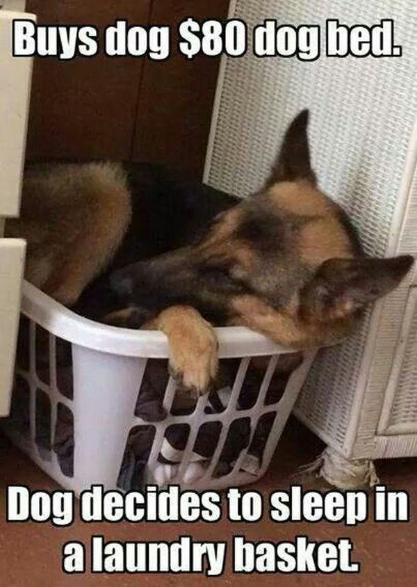 Buys dog 80$ dog bed. Dog decides to sleep in a laundry basket.