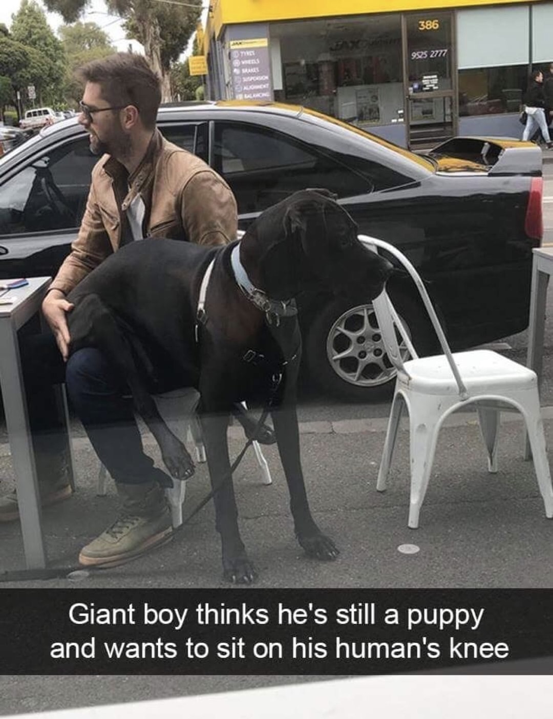 Giant boy thinks he's still a puppy and wants to sit on his human's knee