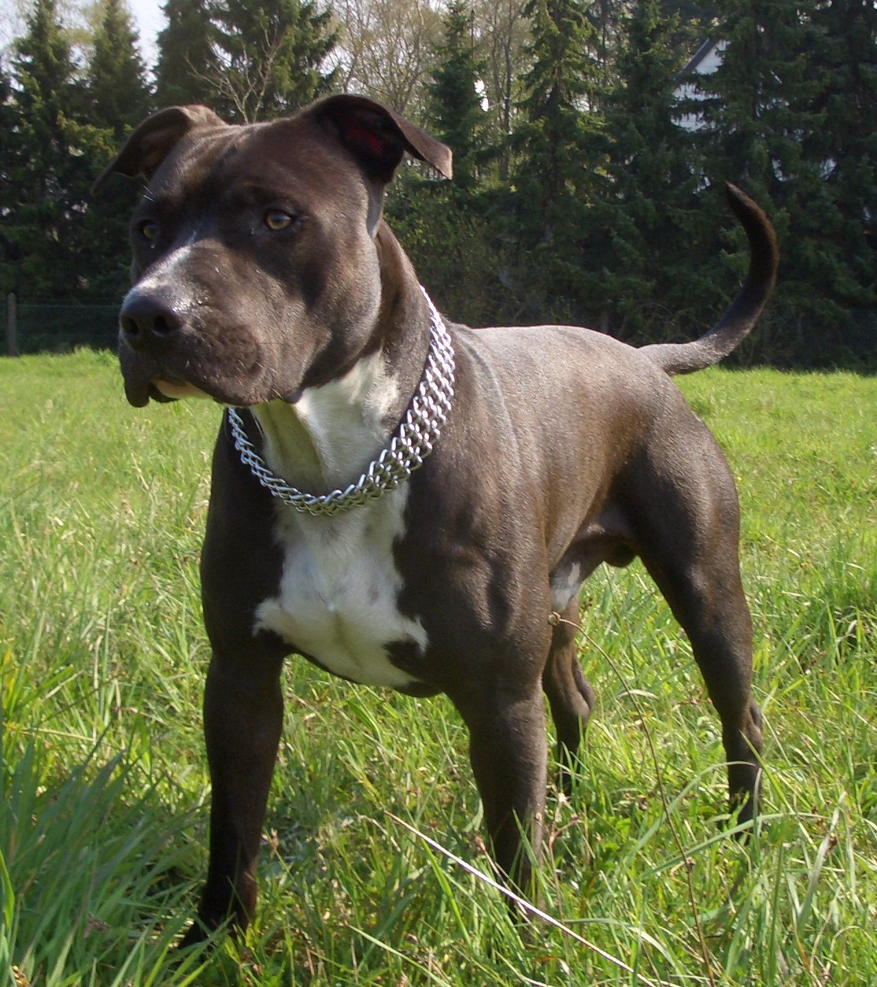 American Staffordshire Terrier Tail