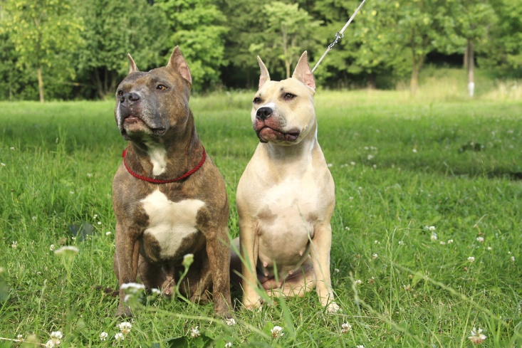 American Staffordshire Terriers Colors
