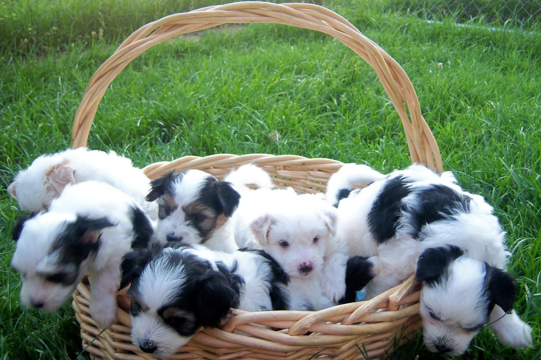Coton de Tulear puppies in the basket