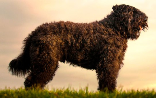 Bouvier des Flandres: Big, Barrel-chested, and Bold Companions