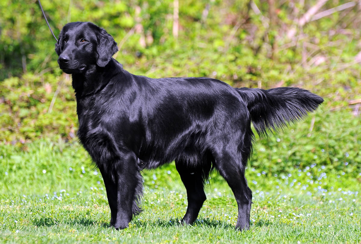 Flat-Coated Retriever – Goofy, Energetic, Joyous