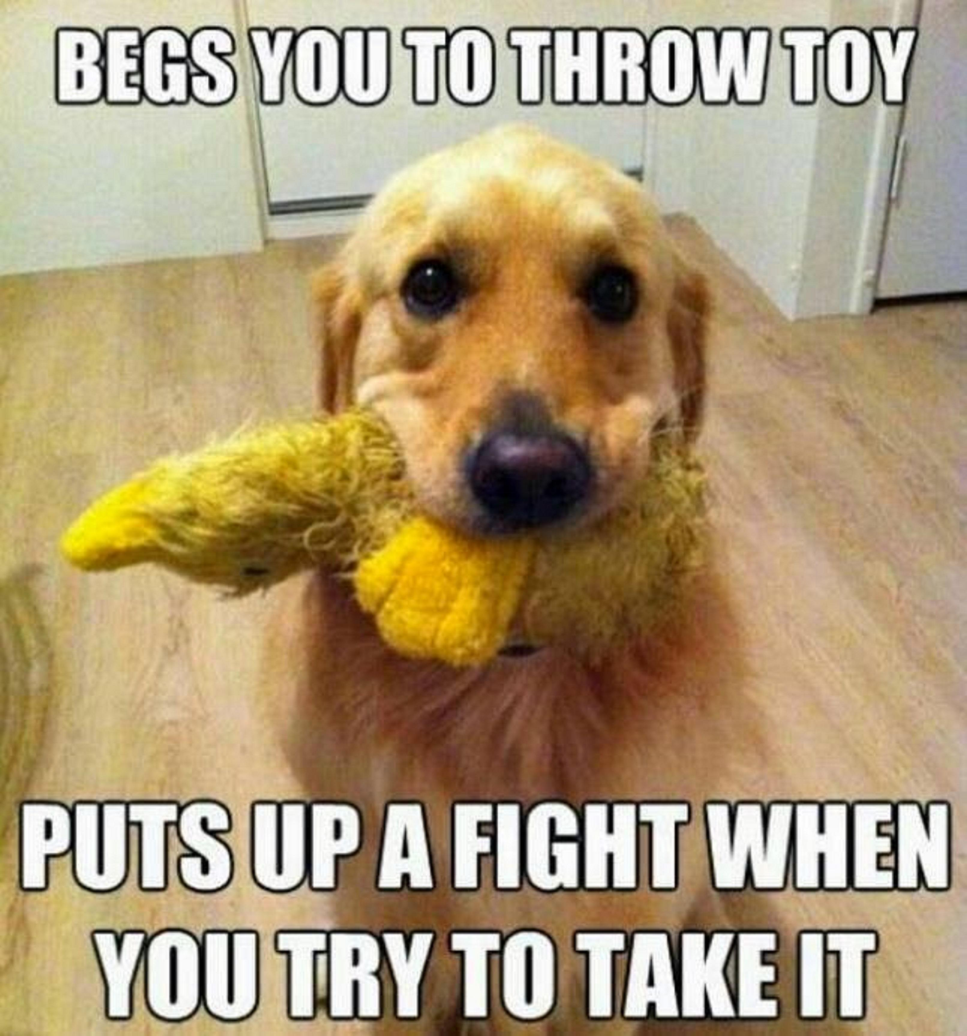 Begs you to throw toy puts up a fight when you try to take it