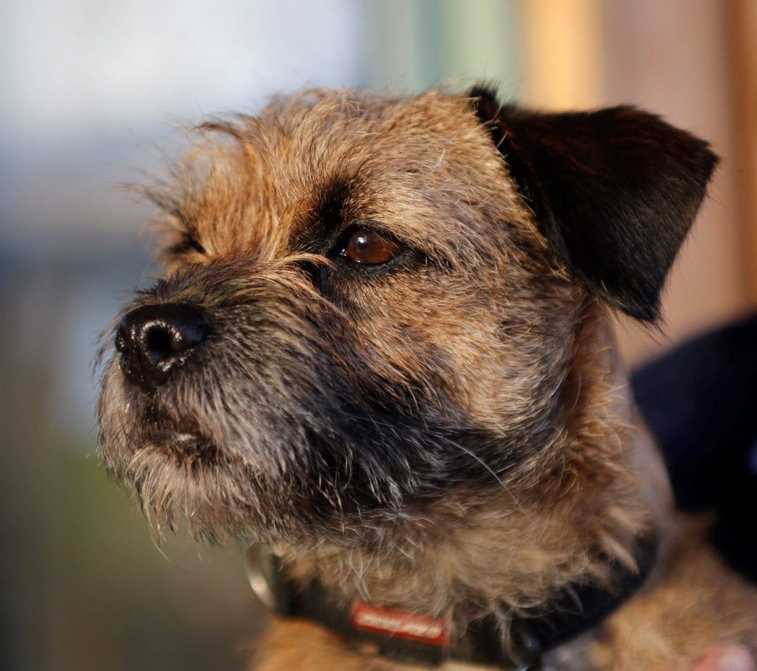 Border Terrier muzzle