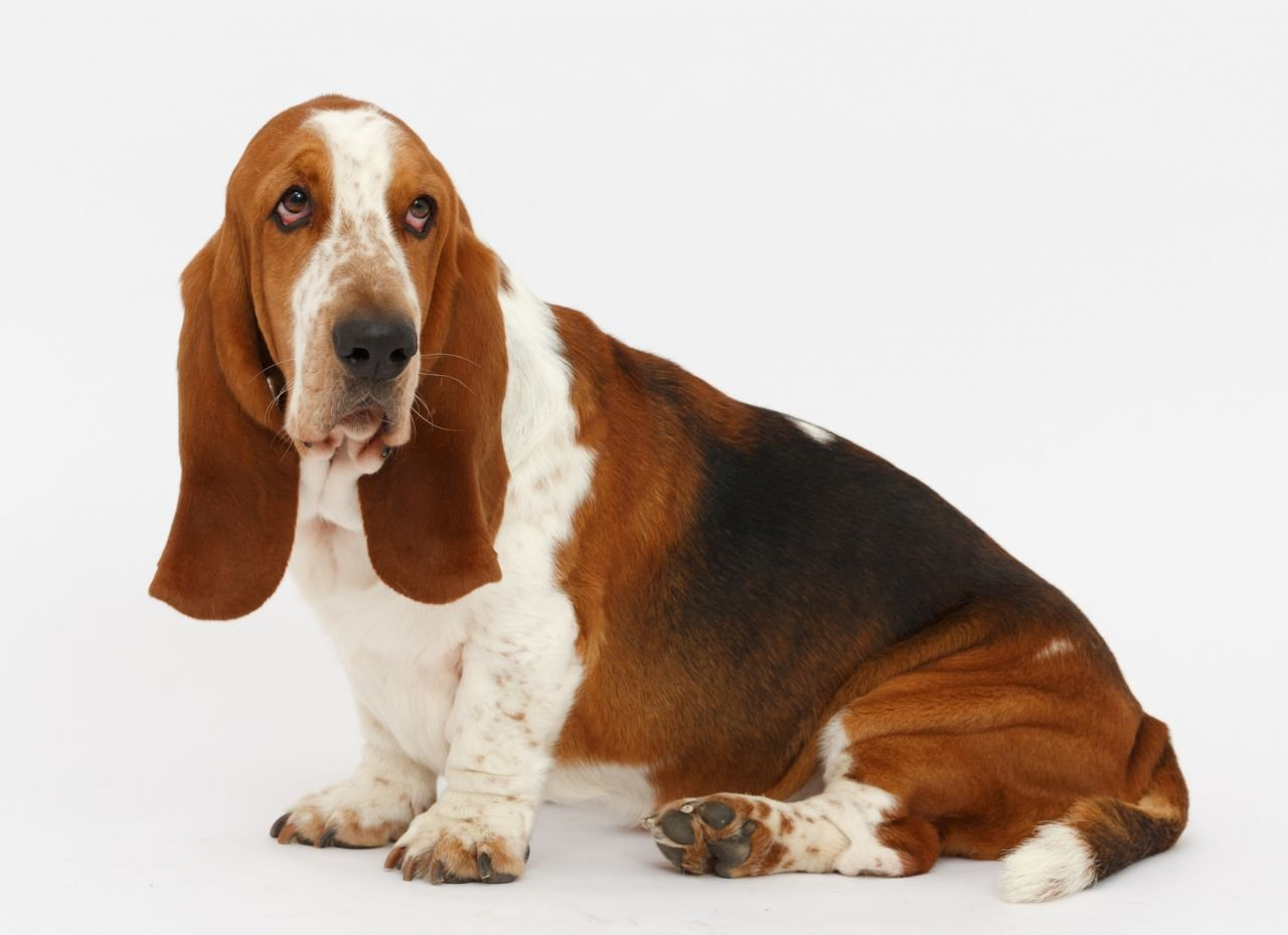Basset Hound – Good Natured, Laid Back, Agreeable