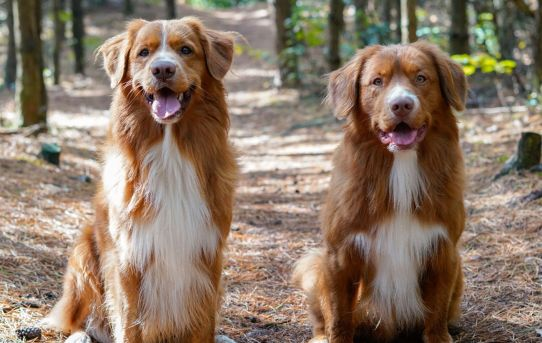 Nova Scotia Duck Tolling Retriever – Energetic, Playful, Athletic