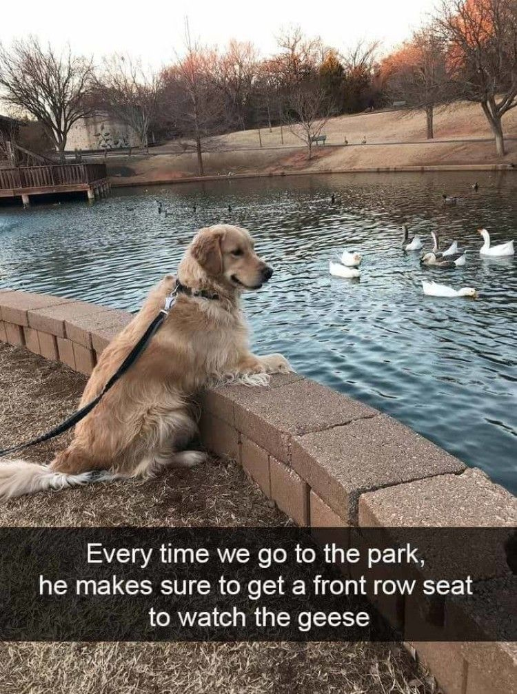 Every time we go to the park, he makes sure to get a front row seat to watch these geese