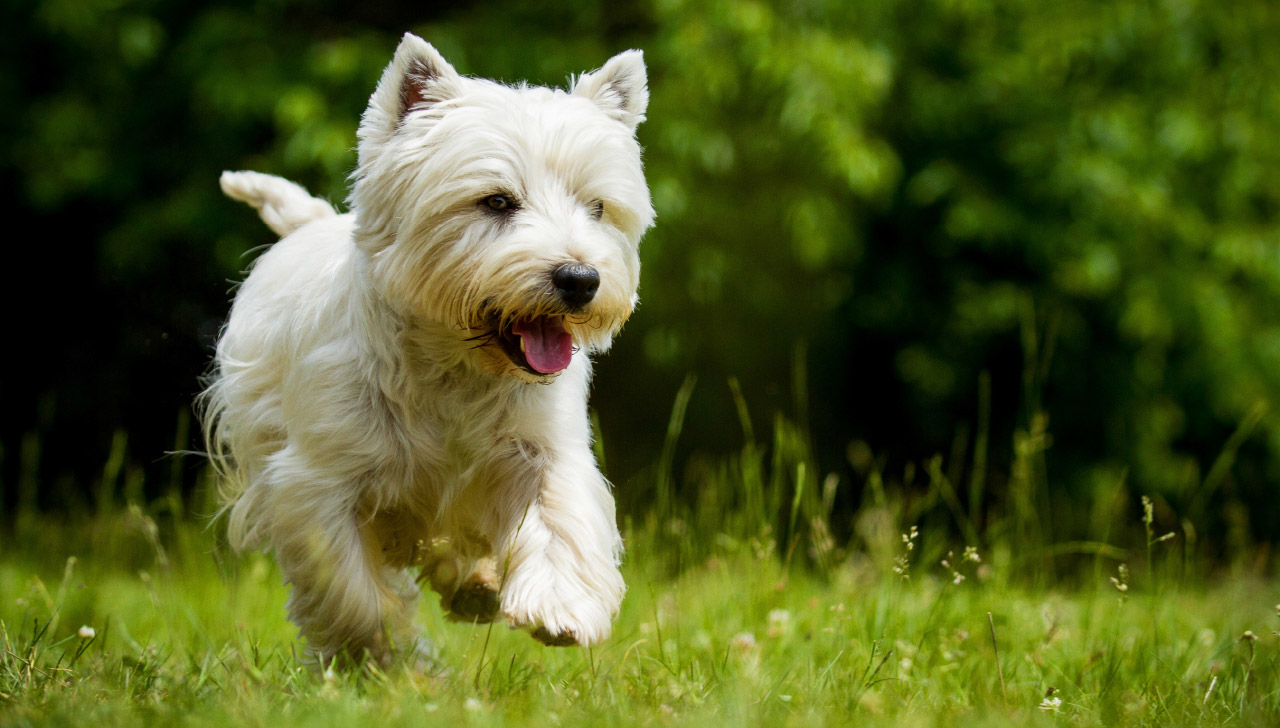 West Highland White Terrier Exercise