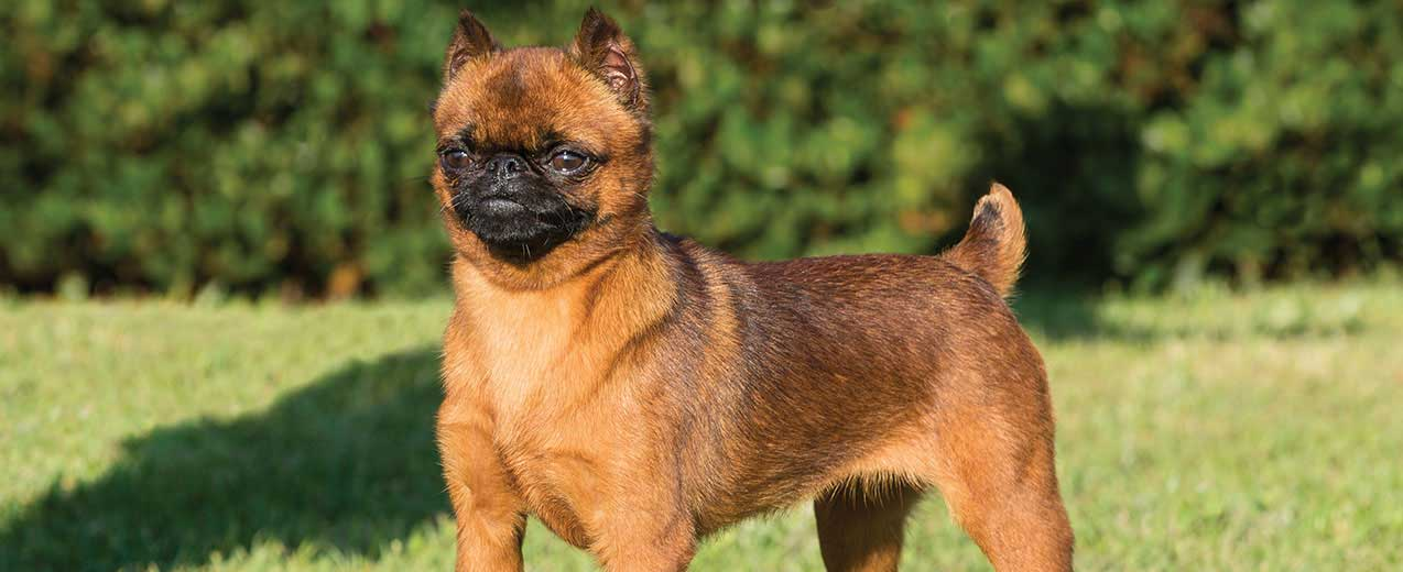 Brussels Griffon Easy-To-Train Apartment Dog