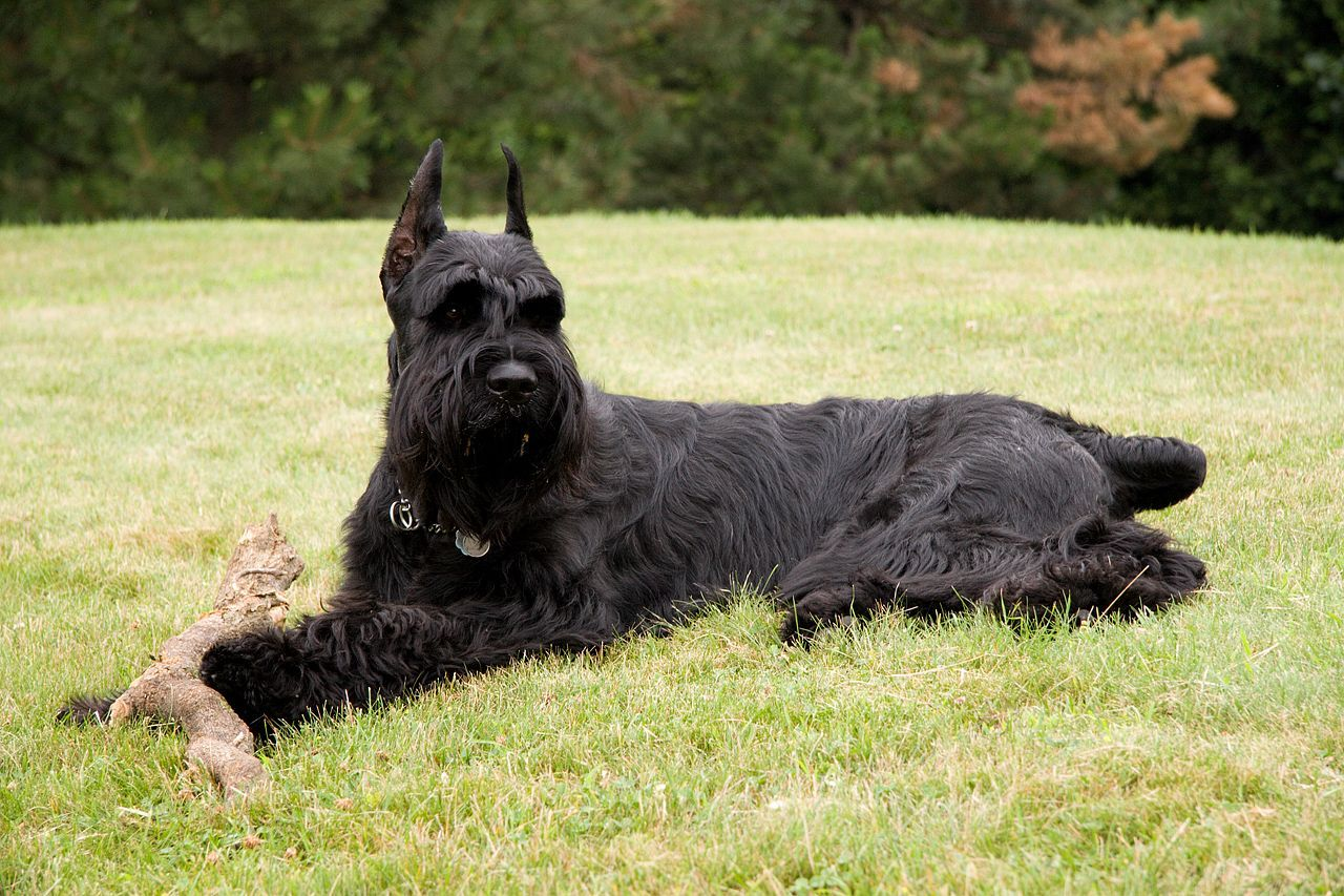 Giant Schnauzer Appearance and Vital Stats