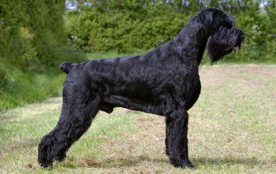 Giant Schnauzer – Hardworking, Loyal, Brave