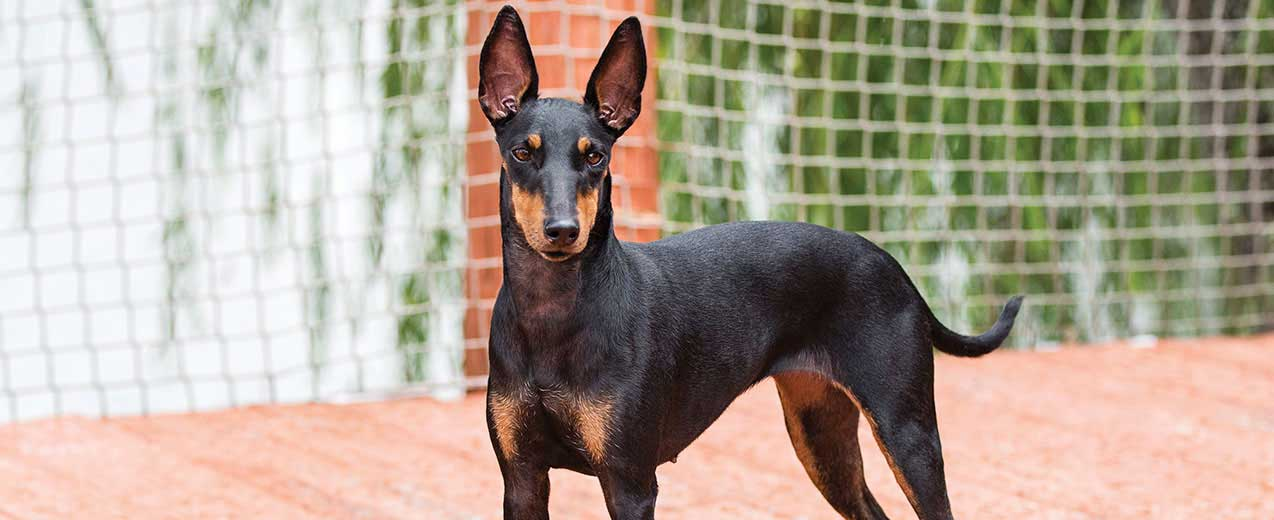 Manchester Terrier Easy-To-Train Apartment Dog