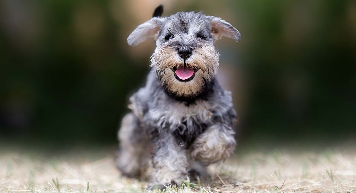 Miniature Schnauzer Easy-To-Train Apartment Dog