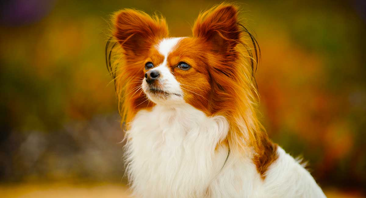 Papillon Easy-To-Train Apartment Dog