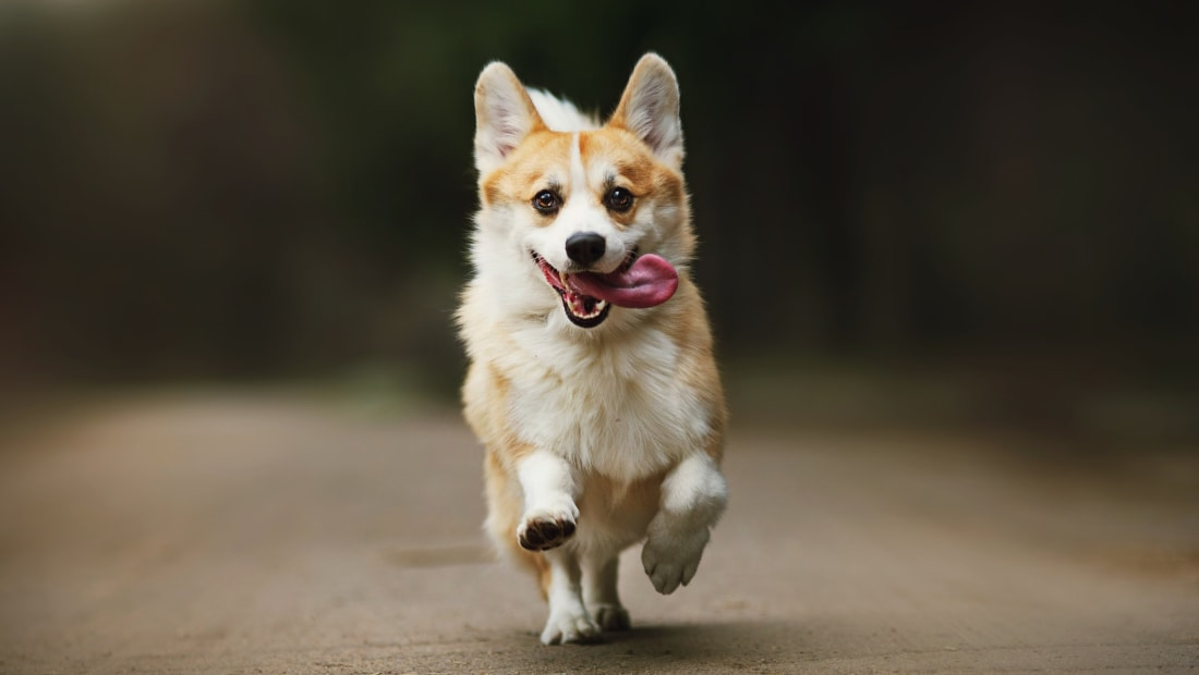 Pembroke Welsh Corgi Easy-To-Train Apartment Dog