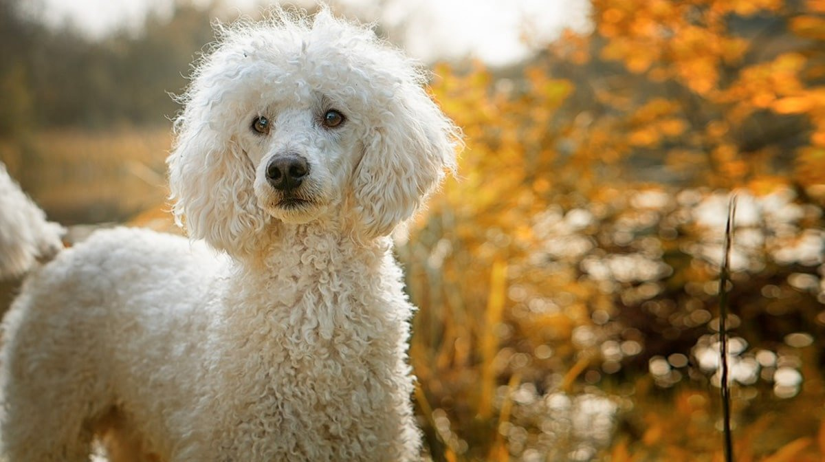 Poodle Easy-To-Train Apartment Dog