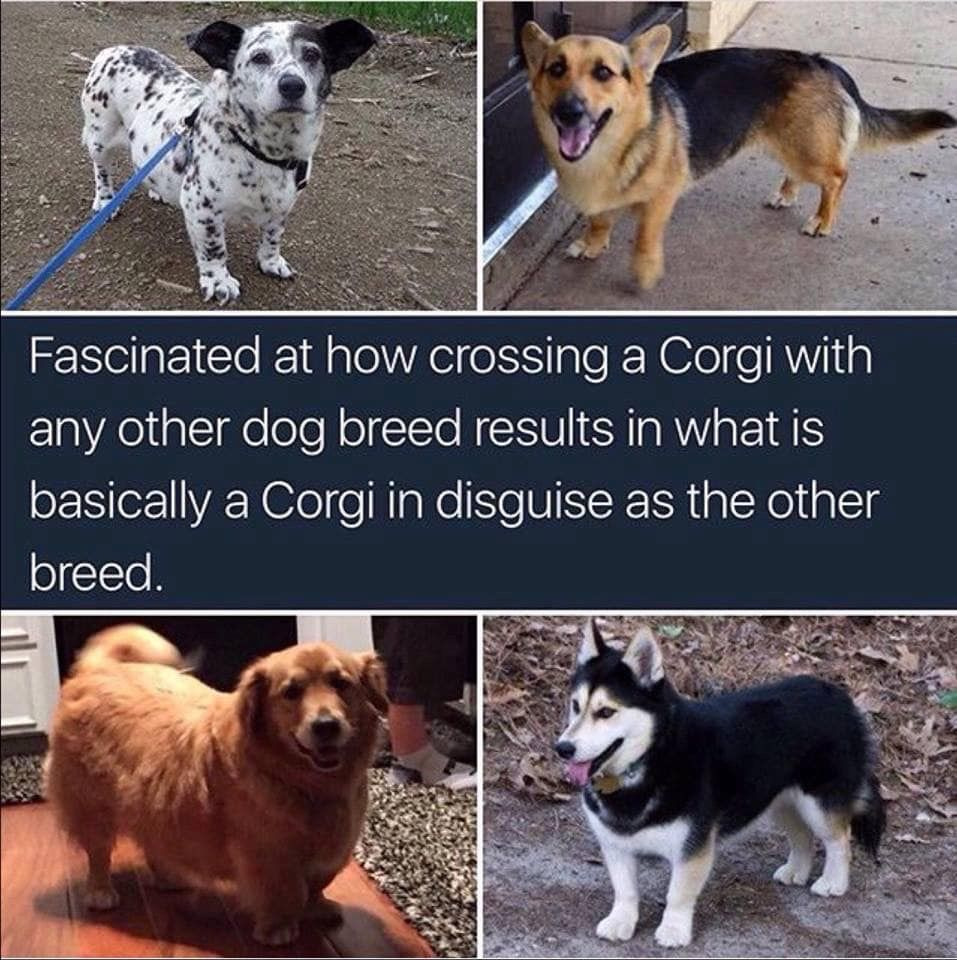 Fascinated at how crossing a Corgi with any other dog breed results in what is basically a Corgi in disguise as the other breed.