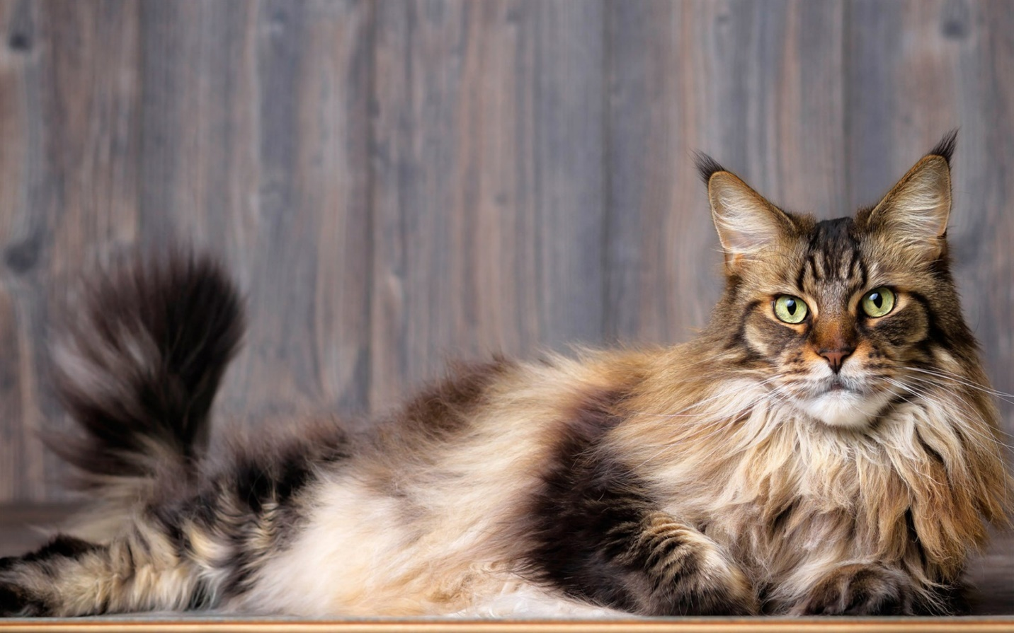 Maine Coon General Appearance