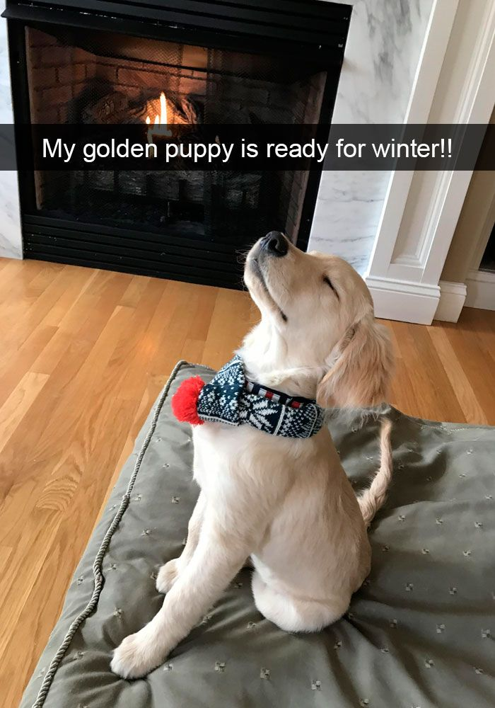 My golden puppy is ready for winter