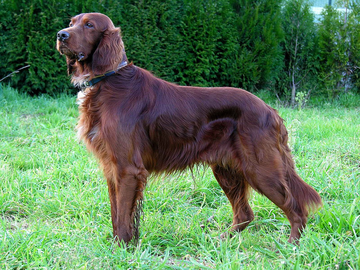 Irish Setter – an intelligent, affectionate dog with a knack for mischief