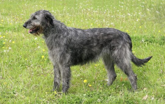 Irish Wolfhound – a dignified, courageous breed with a long, illustrious history