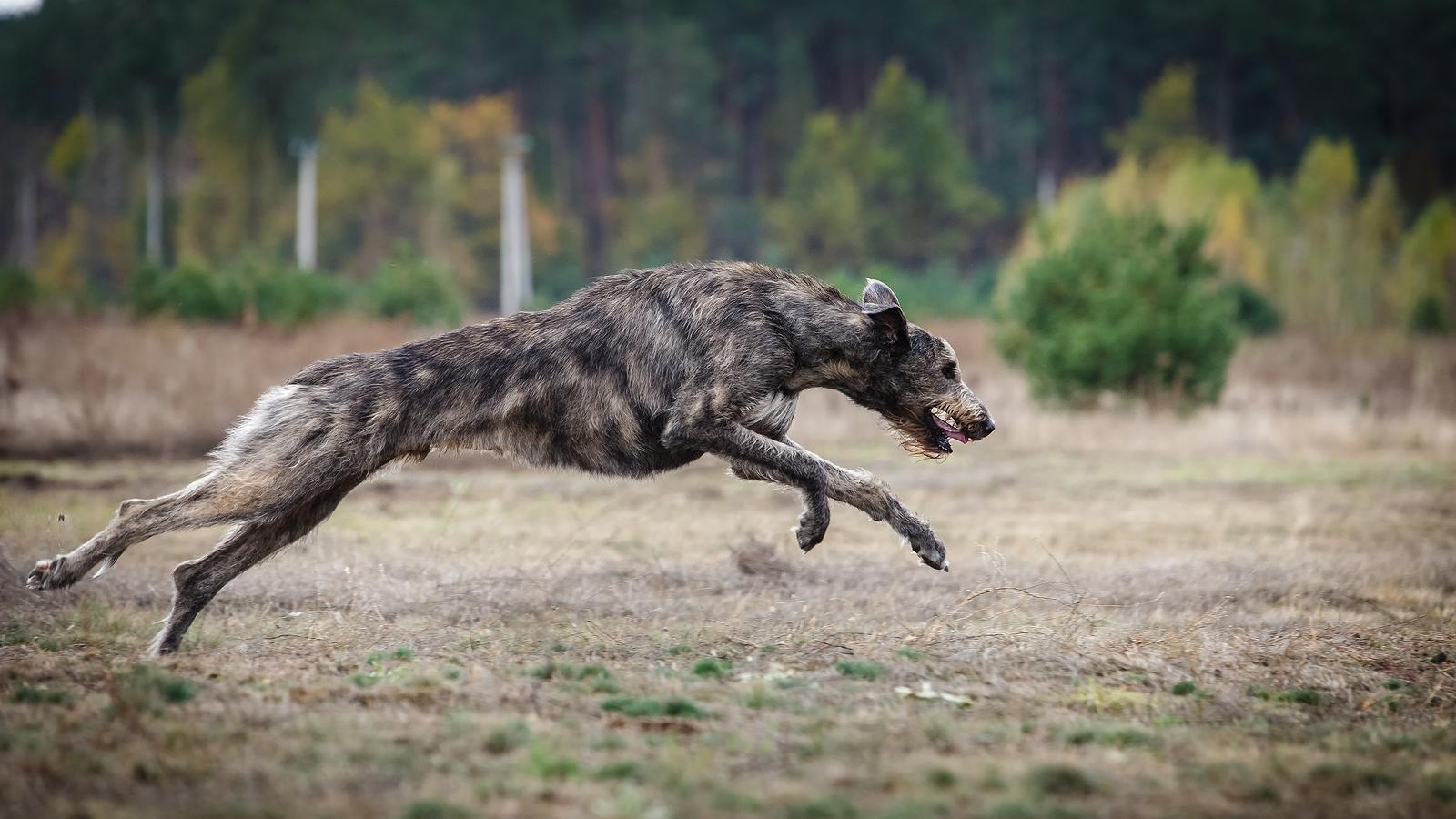 Irish Wolfhound Exercise