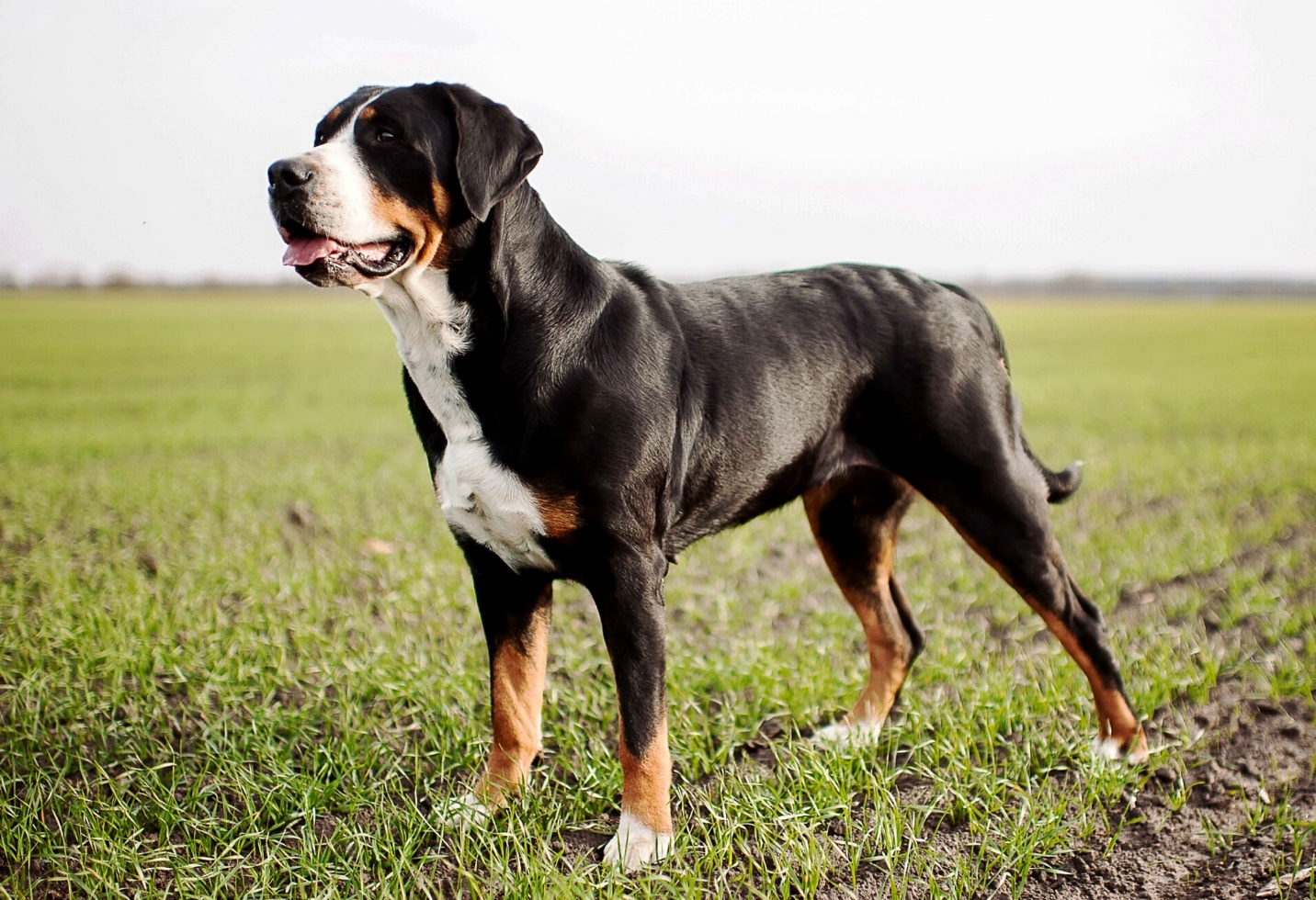 Greater Swiss Mountain Dog – A big, hardworking dog with a heart of gold