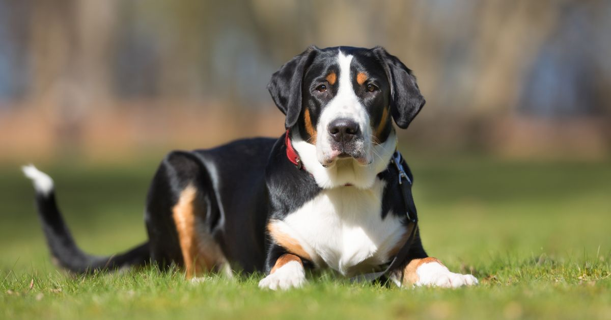 Greater Swiss Mountain Dog Coat and Colors