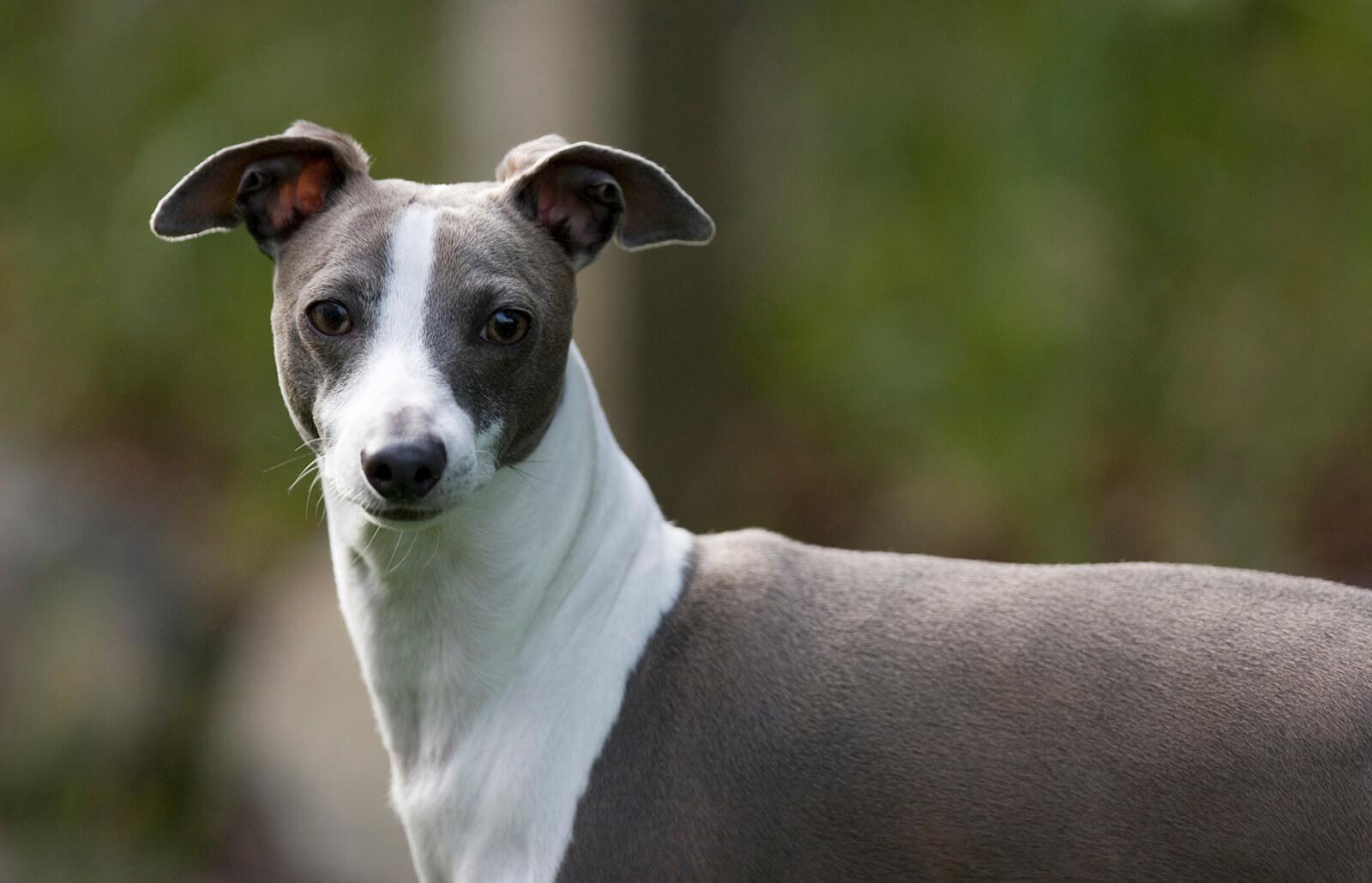 Italian Greyhound Ears