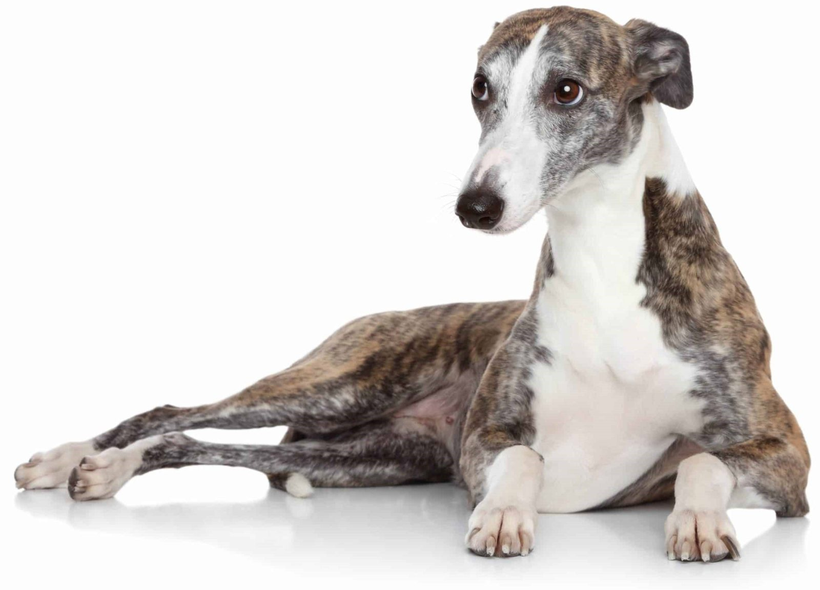 Italian Greyhound General Appearance