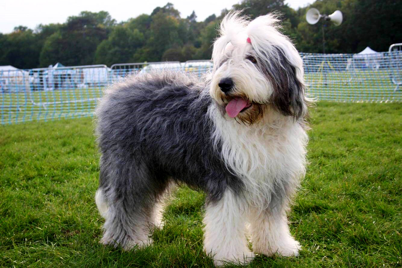 Old English Sheepdog – a lively, intelligent breed with a gentle nature