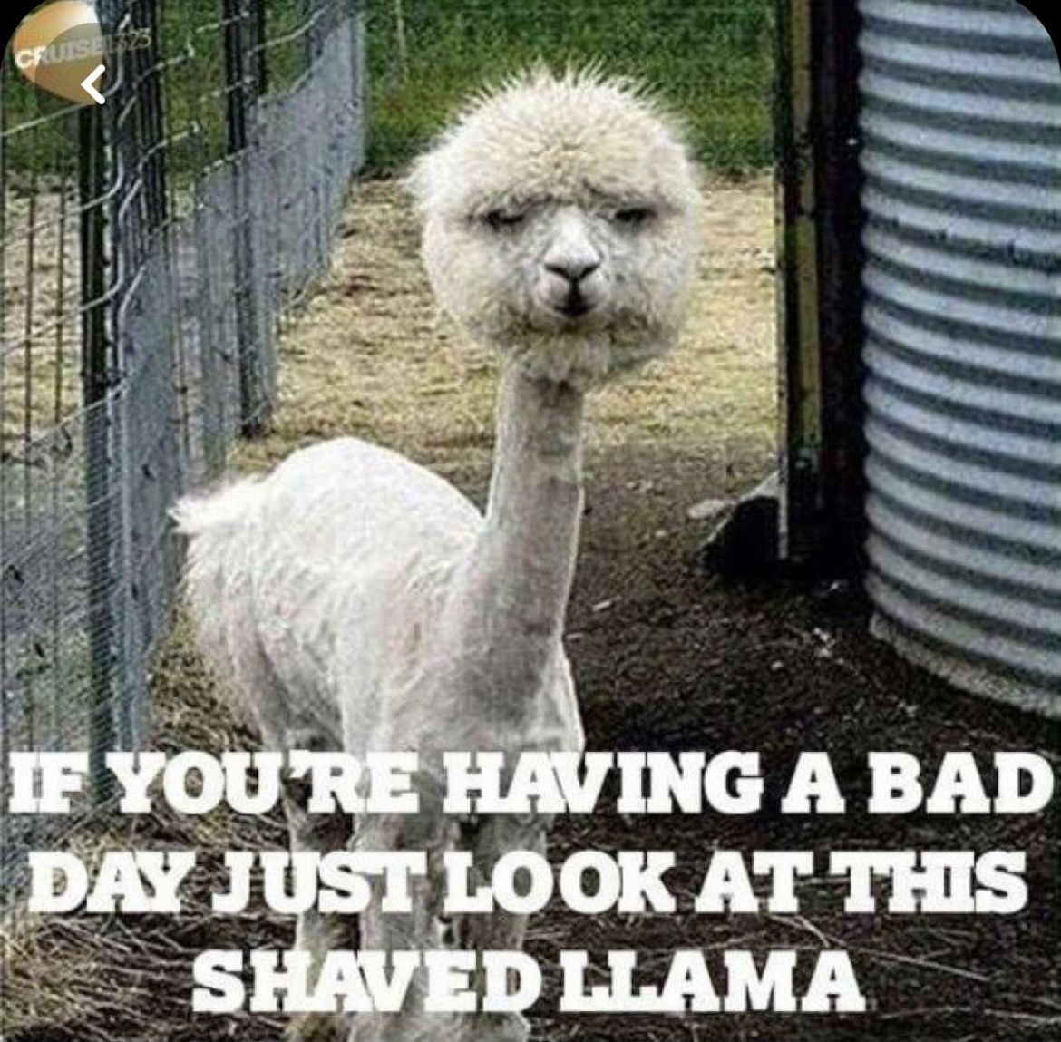 If you're having a bad day just look at this shaved llama