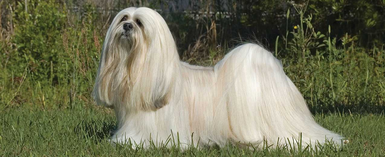 Lhasa Apso General Appearance