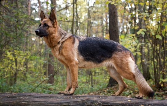 German Shepherd Double Coat: What You Need to Know
