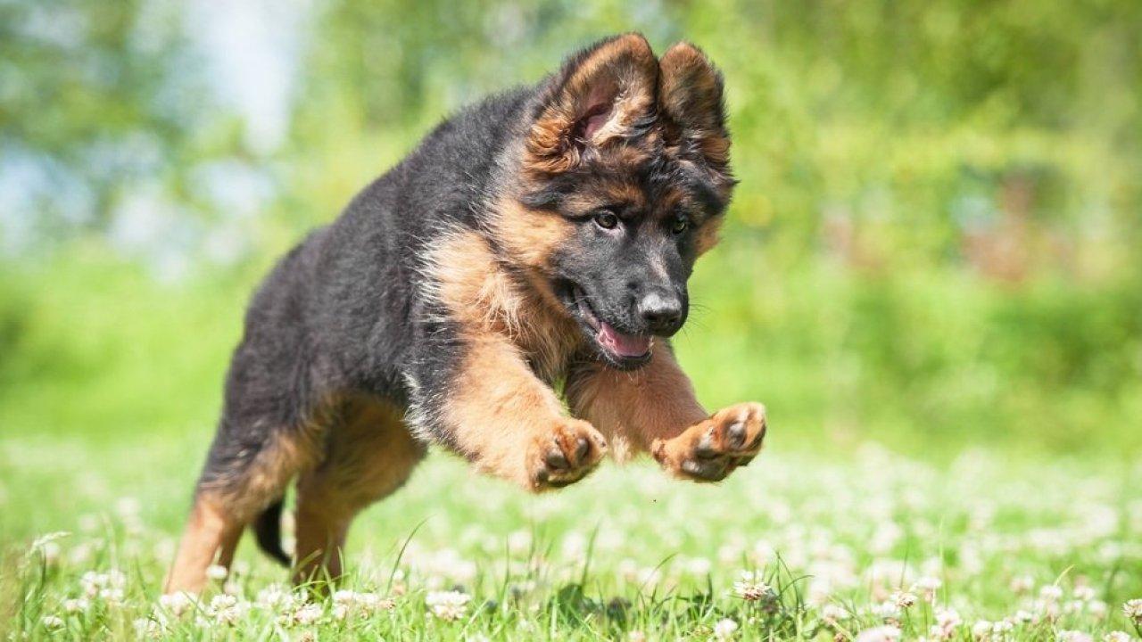 How to Identify Double Coated German Shepherd Puppies