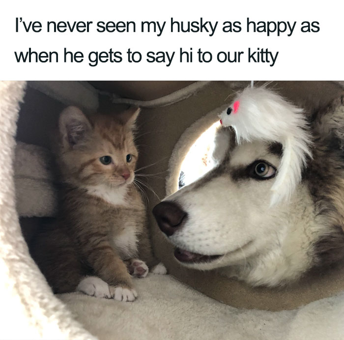 I've never seen my husky as happy as when he gets to say hi to our kitty