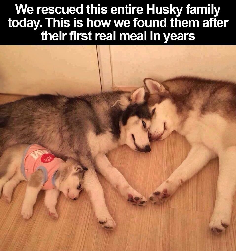 We rescued this entire Husky family today. This how we found them after their first real meal in years.