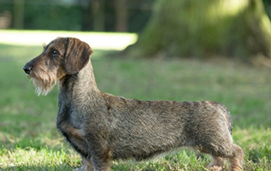 What You Should Know About the Wirehaired Dachshund