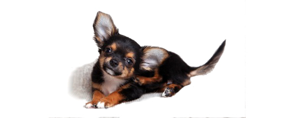 Five Non-Toxic Home Remedies For Dogs With Fleas