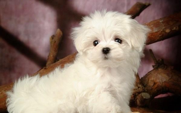 loss of a maltese dog