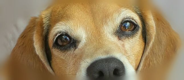 sneaky beagle